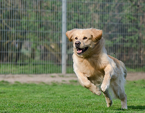 dog-running-stem-cell-therapy
